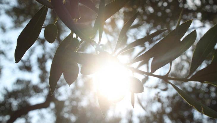 Apadrina un olivo, una forma pionera de crowdfunding
